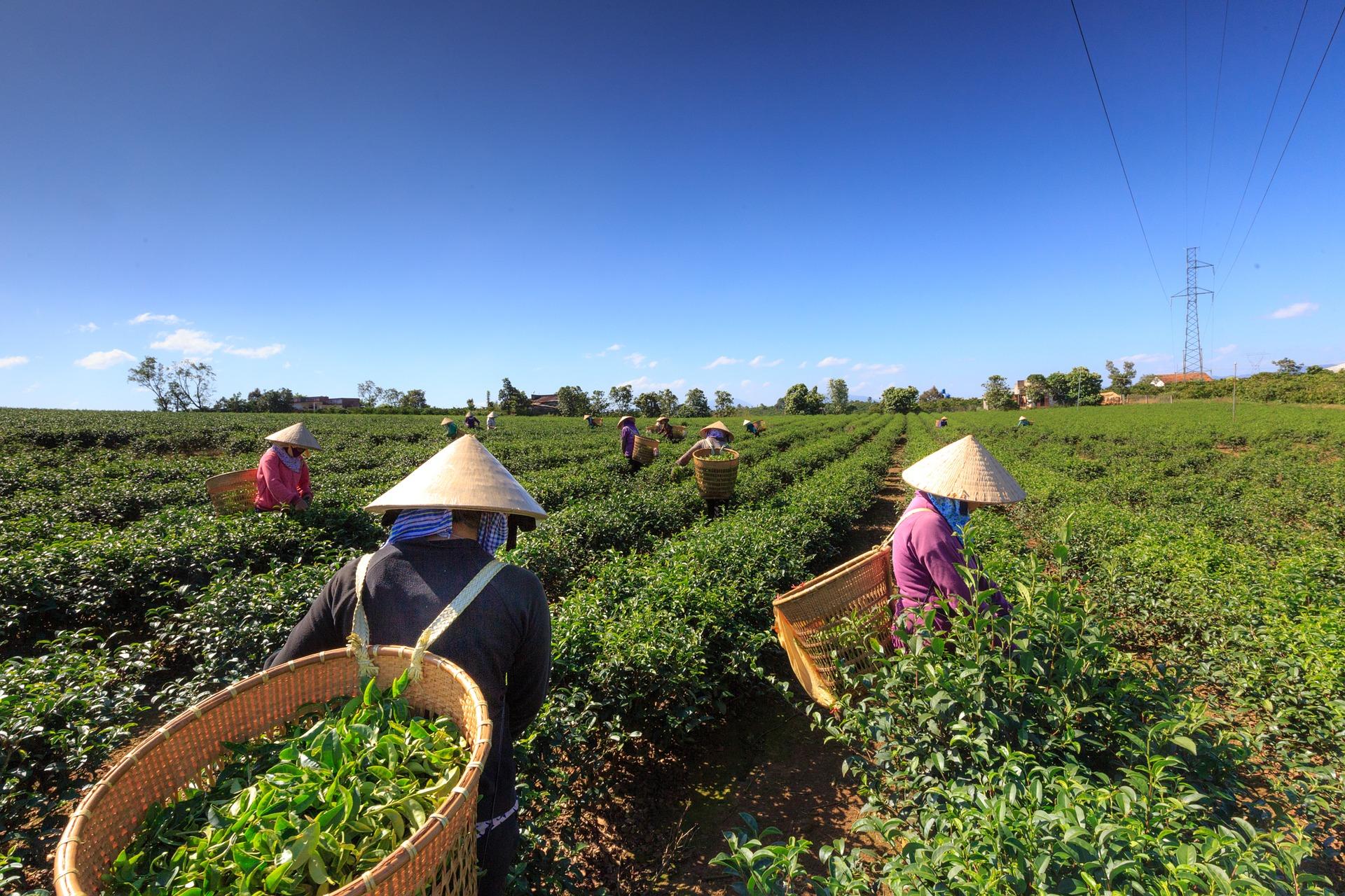 茶畑で茶摘みする光景