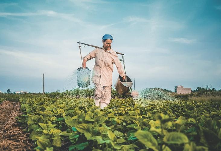 野菜に肥料を与える風景