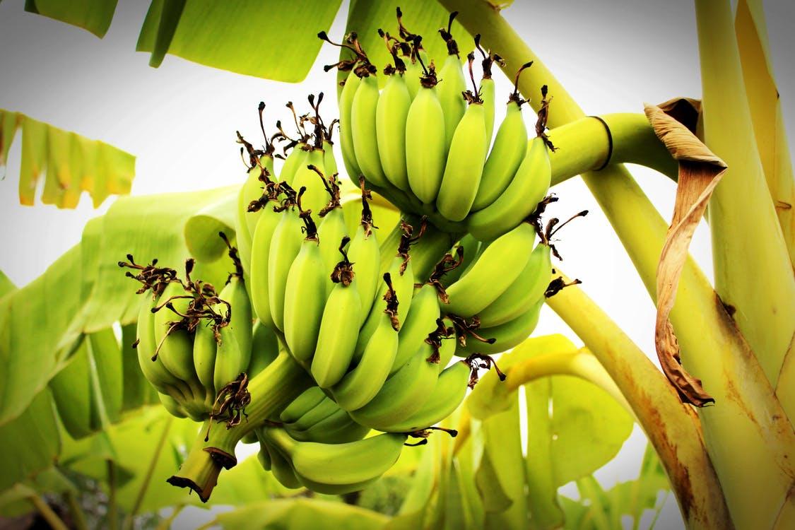 収穫前のバナナの房