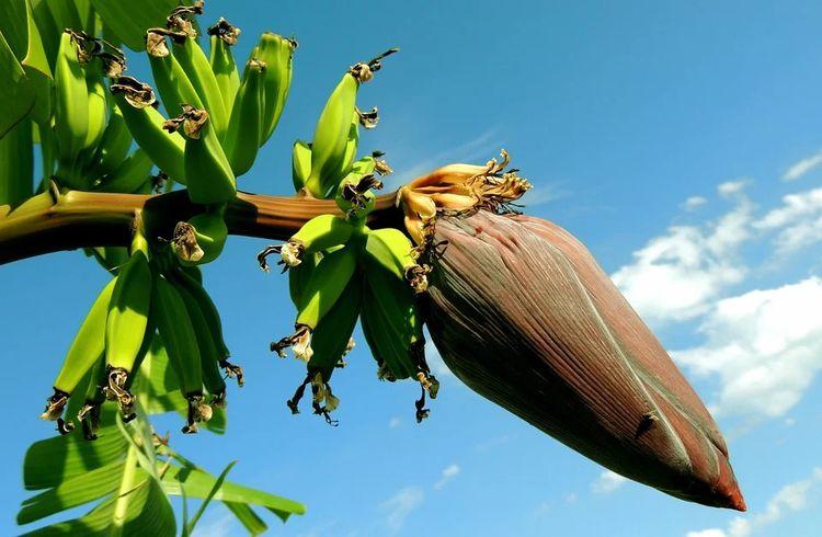 有機栽培のバナナと普通のとどこが違う? おすすめの販売元もご紹介!