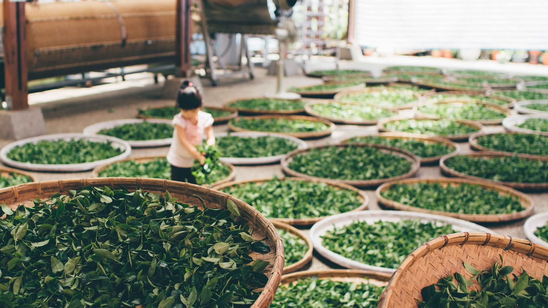 茶葉を干している少女
