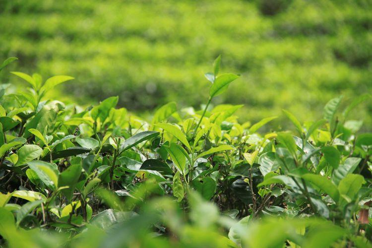 緑が綺麗な葉っぱ