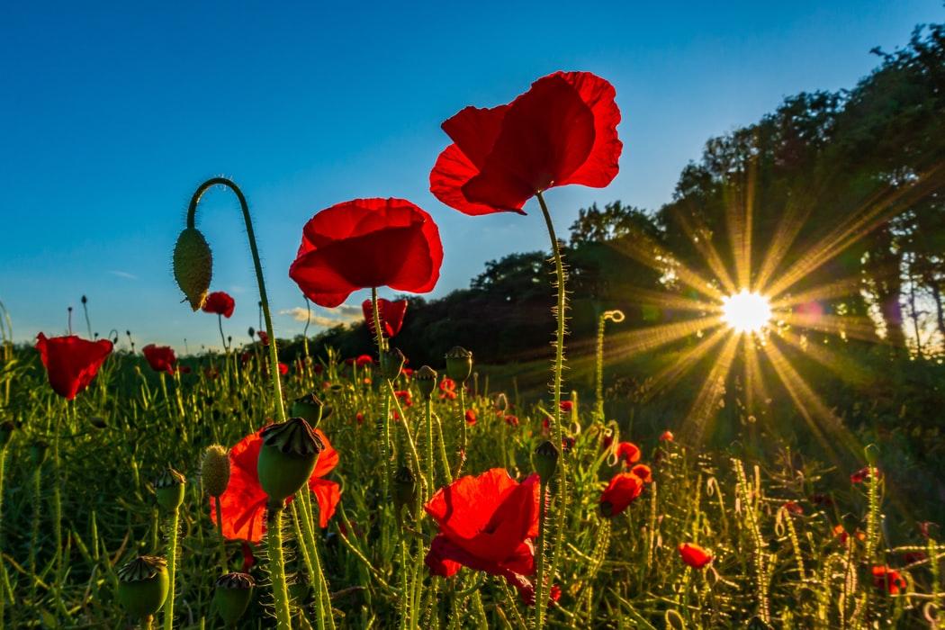 赤い花を照らす西日