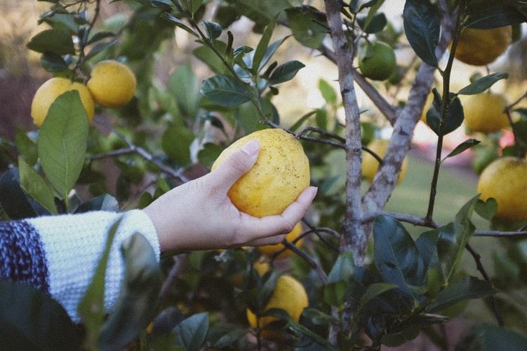 摘み取られるオーガニックのレモン